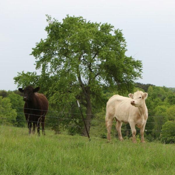 Cows at RL Valley Ranch