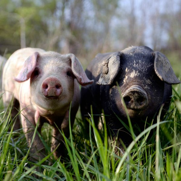 Pigs at Six Buckets Farm