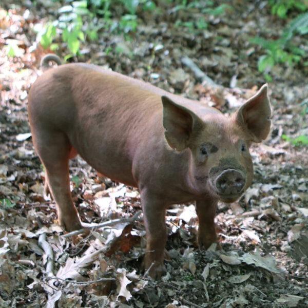 A pig at Woodland Ridge Farm